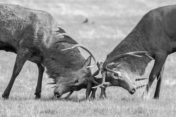 Debating differences: Stags Fighting