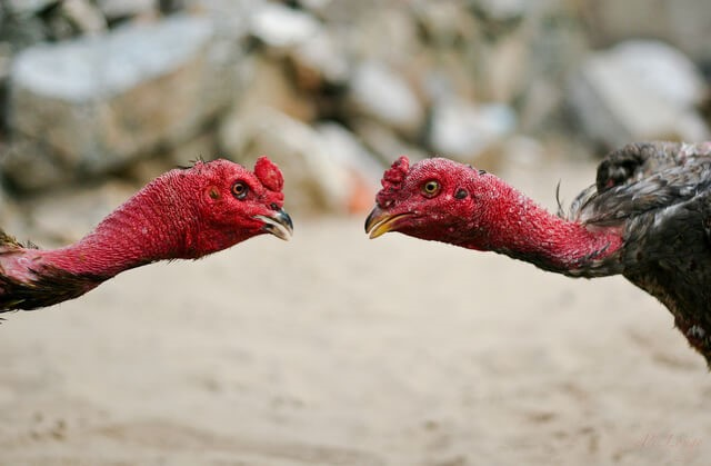 Two fighting cocks